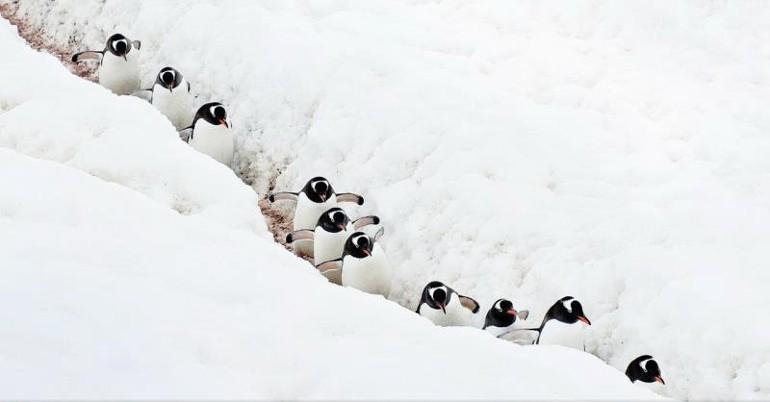 пингвины идут гуськом